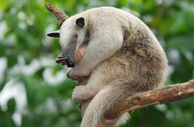 Southern tamandua resting in a tree