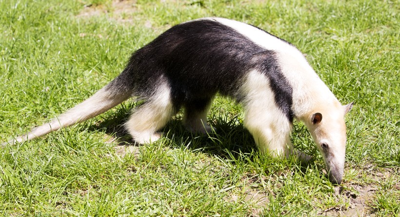 southern tamandua in open grass