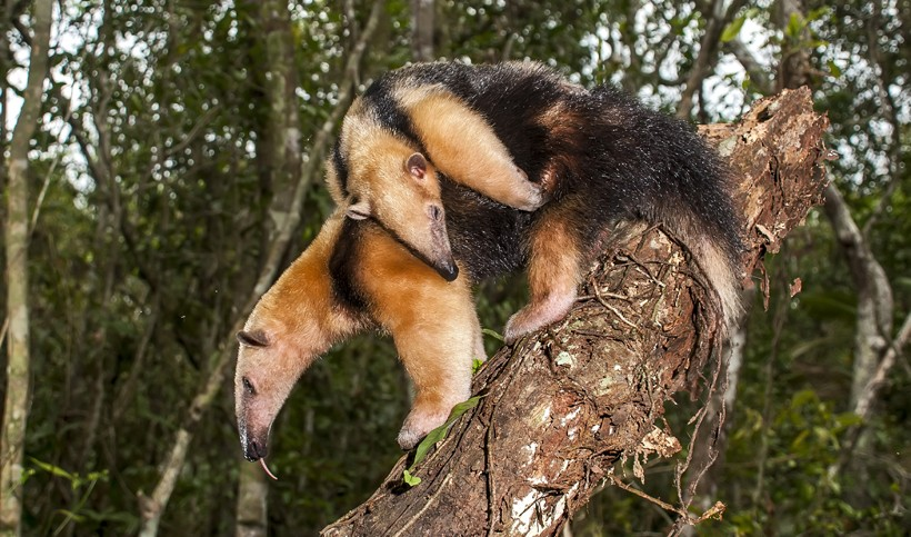 Southern tamandua mother with child on her back