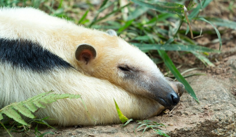Southern Tamandua taking a nap after lunch