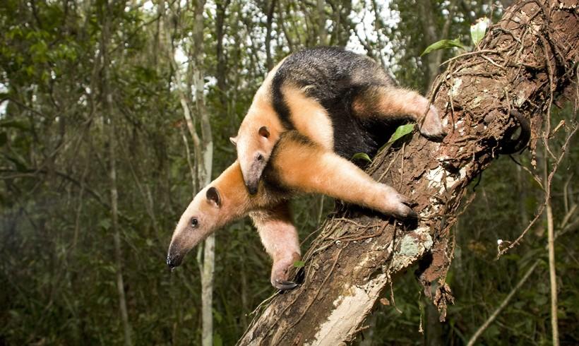 Southern tamandua walking on a branch