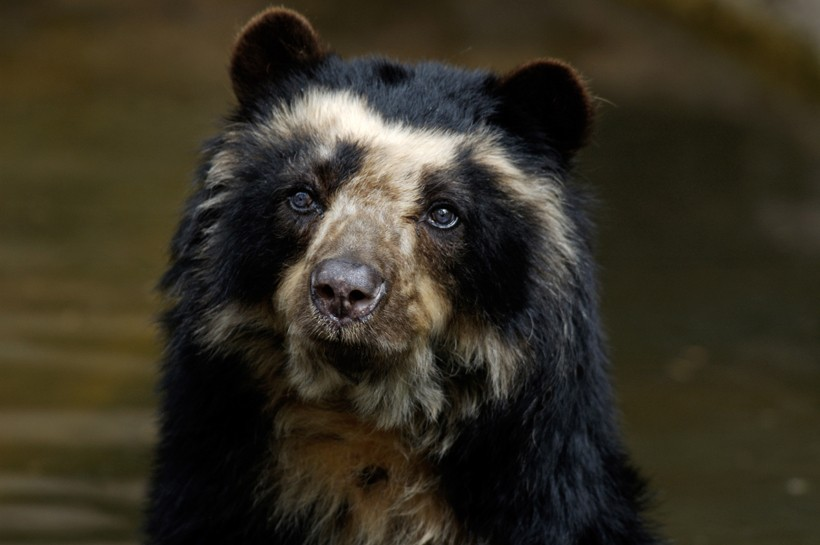 Closeup head spectacled bear