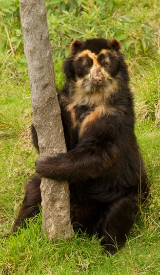 Wild spectacled bear sitting
