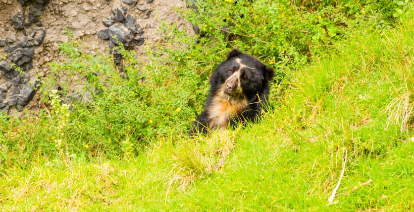 Spectacled bear head behind grasshill