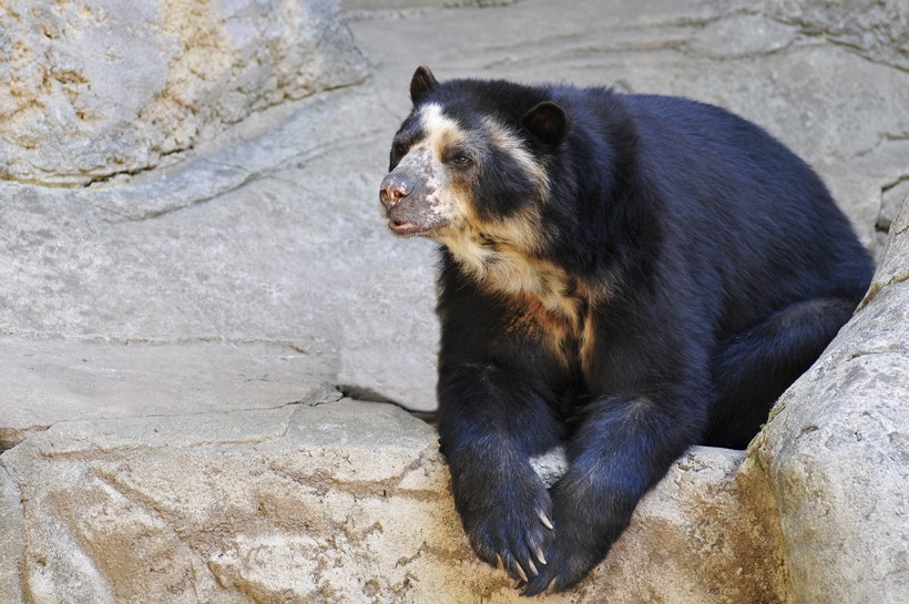 Spectacled bear on rocks