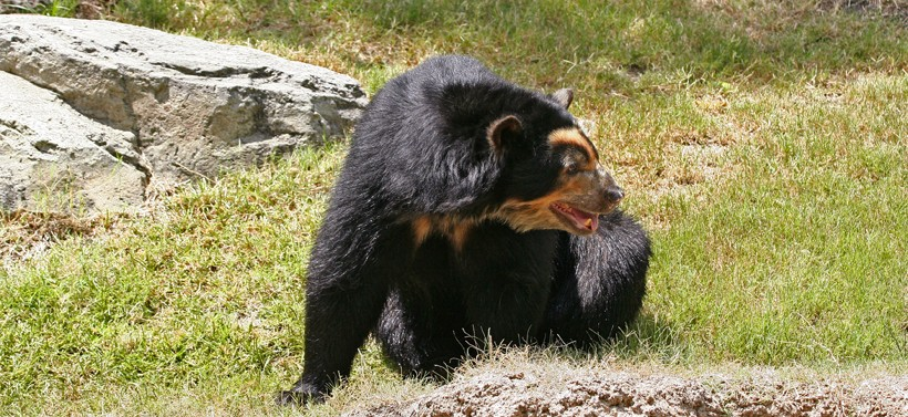 Spectacled bear sitting