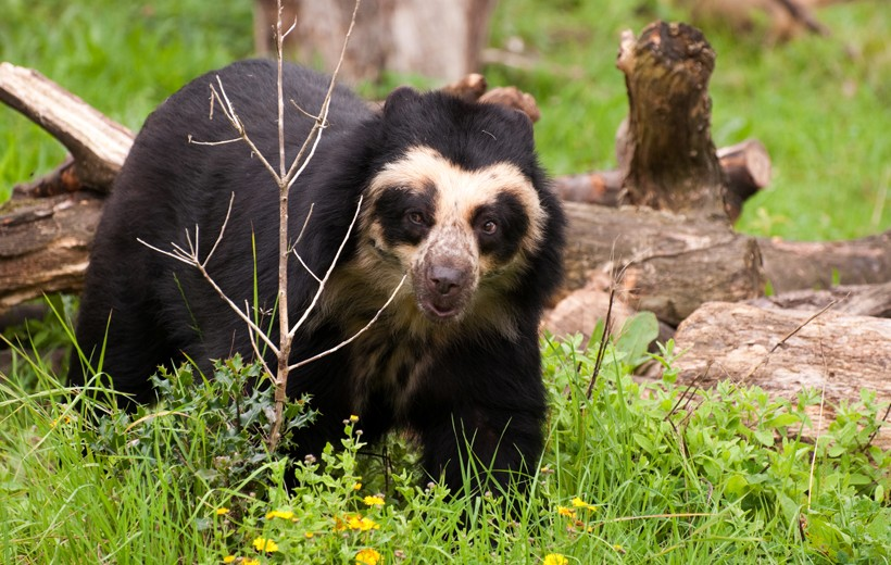 spectacle of the spectacled bear beautifully visible