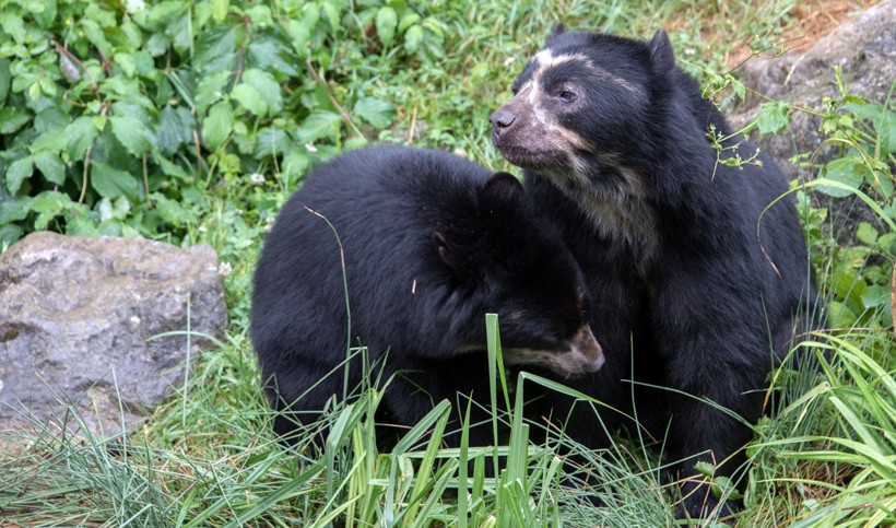 two spectacled bears