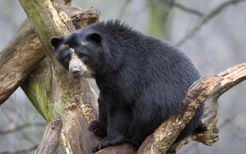 Spectacled bear sitting in a tree