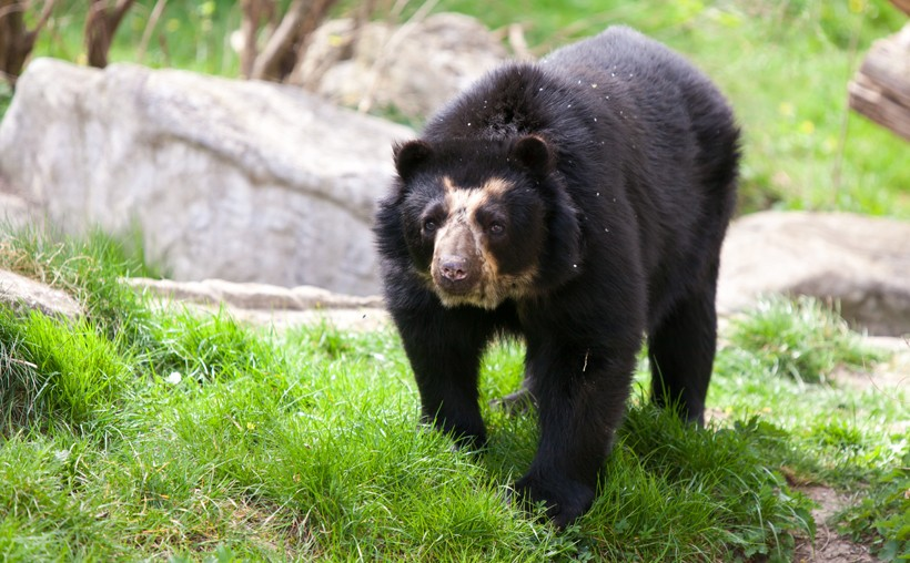 Spectacled bear walking