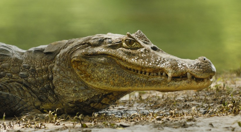Spectacled Caiman Basking in the sun