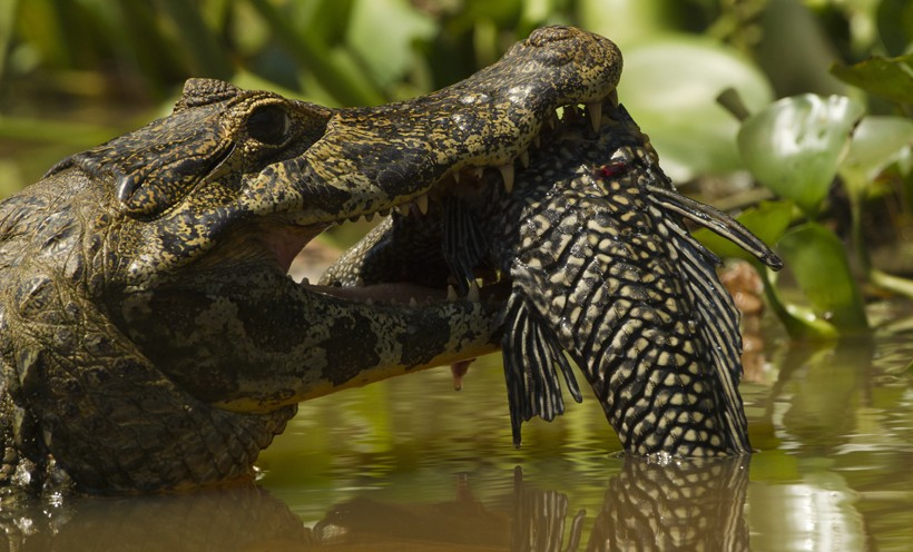 Spectacled Caiman catching a fish, Brazil