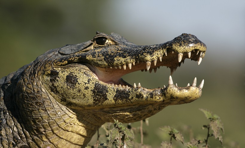 Closeup head Spectacled Caiman