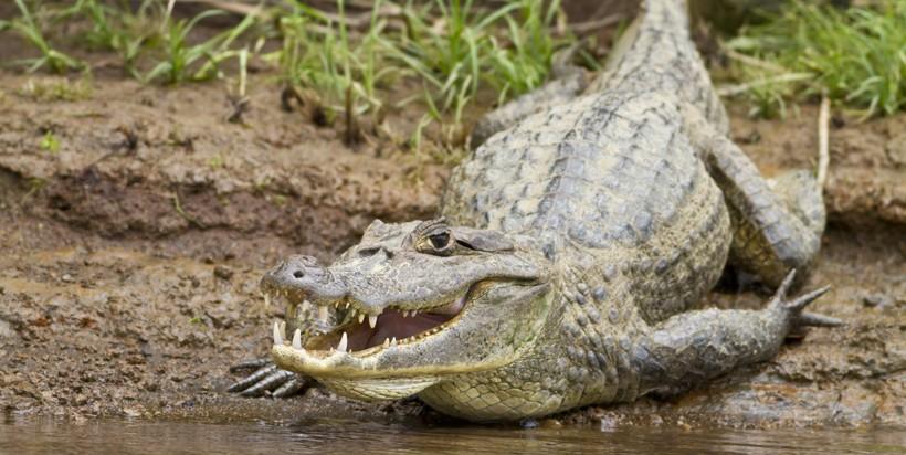 Caiman crocodilus fuscus