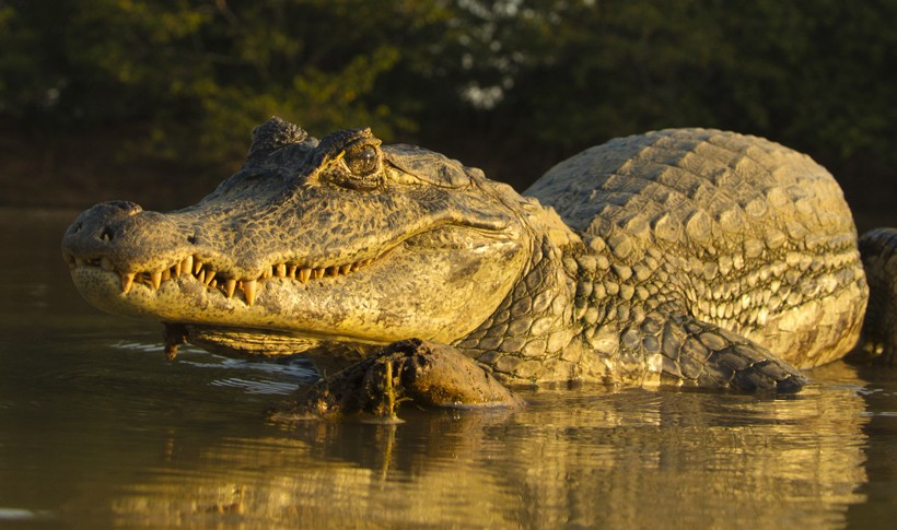 Spectacled Caiman in freshwater
