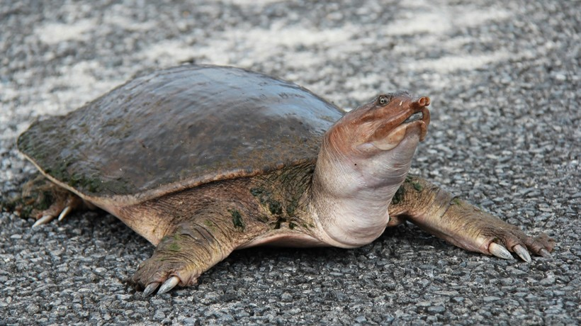 Lacking teeth, turtles may eat small rocks that help to pulverize the food in their stomach