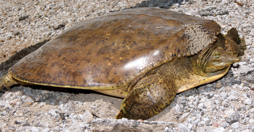 Female spiny softshell turtle