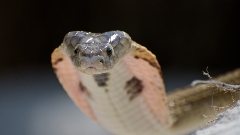 Anatomy of the spitting cobra