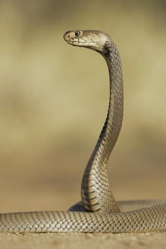 Naja mossambica, south africa
