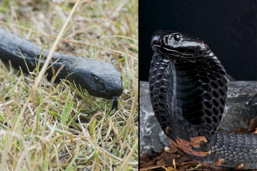 Spitting Cobra (Naja) | about animals
