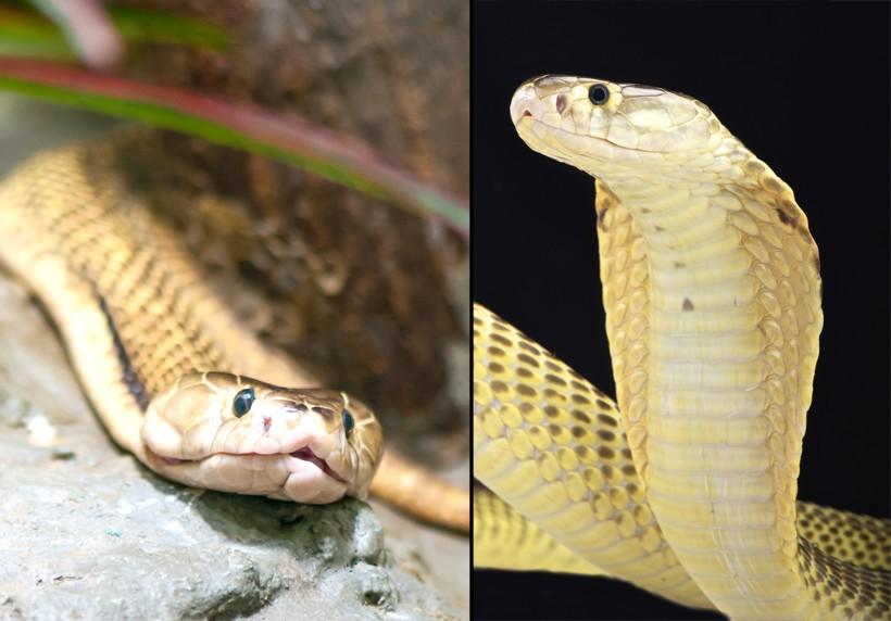 Sumatra spitting cobra