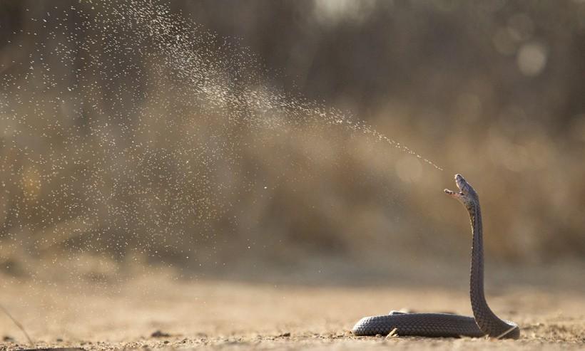 Spitting cobra Naja mossambica spitting venom as defense