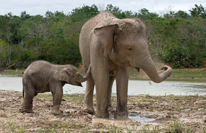 Newborn Sumatran Elephant calf with mother