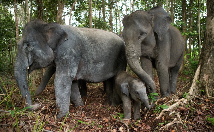 Sumatran Elephants in the jungle