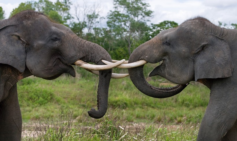 Sumatran elephants playing with each other