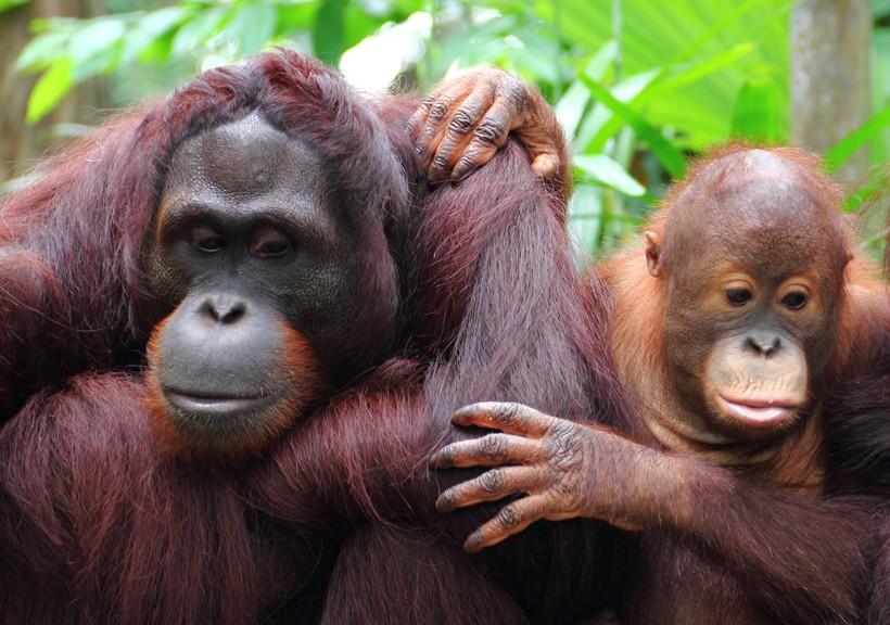 The sumatran orangutan is a critically endangered species