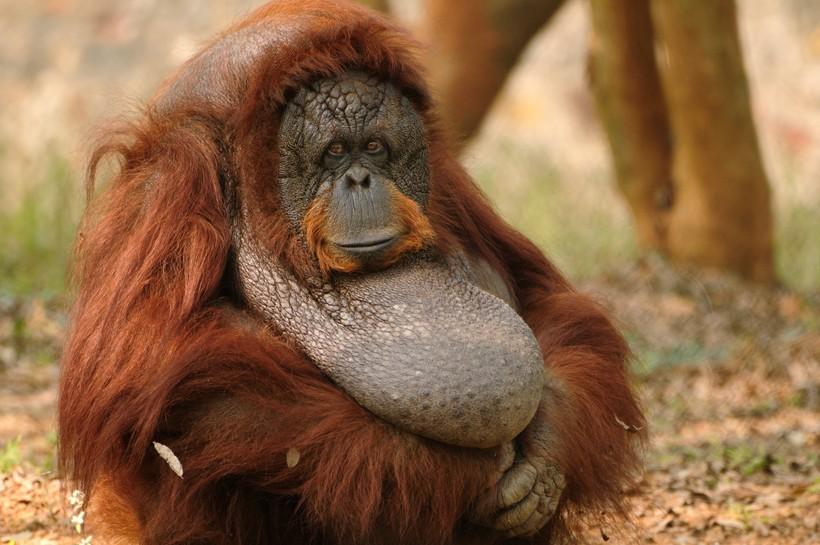 Female sumatran orangutan