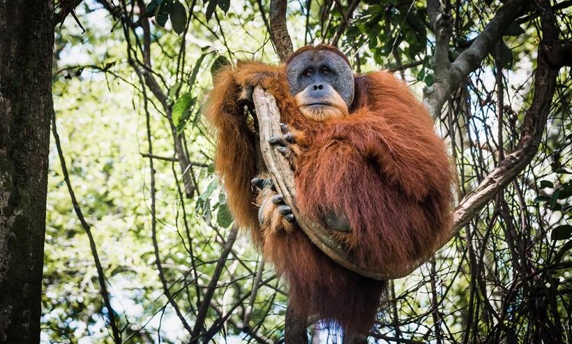 Sumatran orangutan in the tropical jungle of sumatra