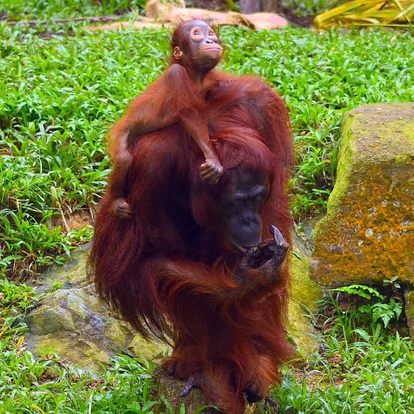Mother sumatran orangutan carrying infant