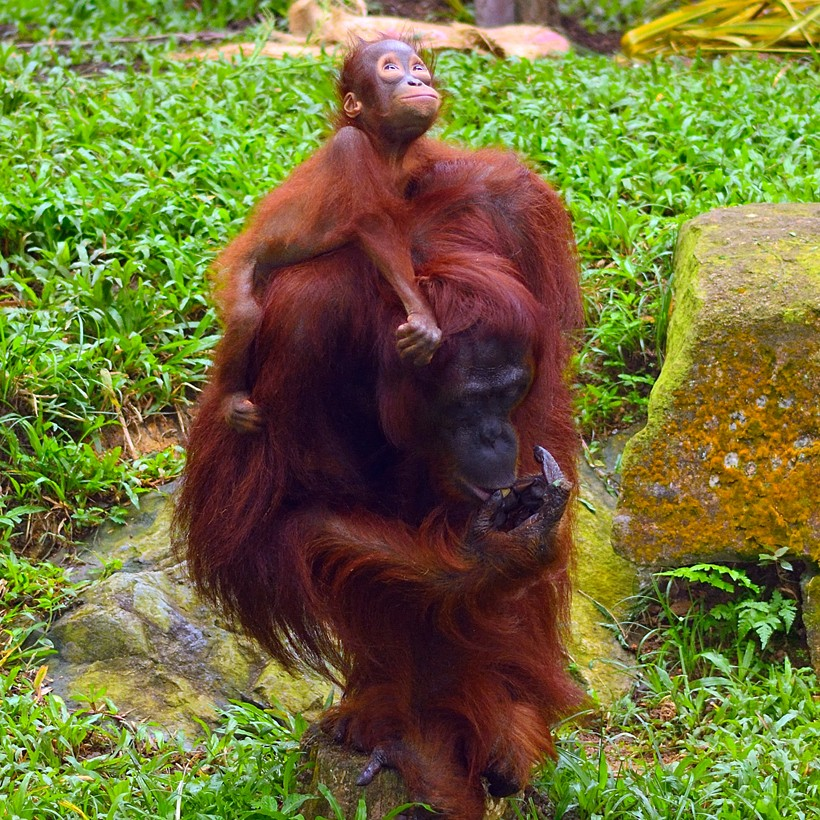 Mother sumatran orangutan carrying infant