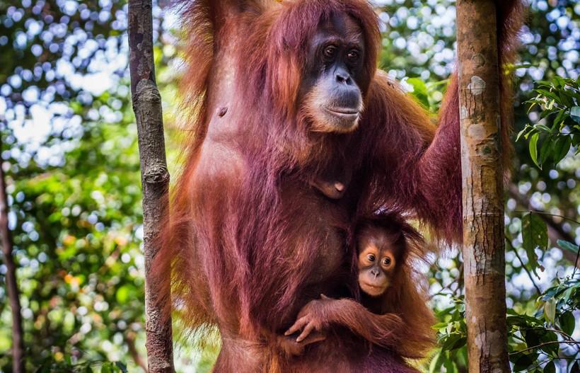 Sumatran orangutan mother and child hanging in a tree