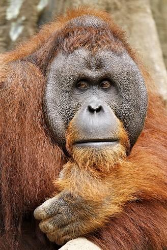 Sumatran orangutan portrait image flanged male