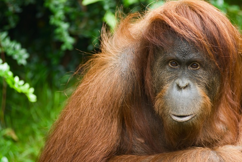 Sumatran orangutans are also known as red apes