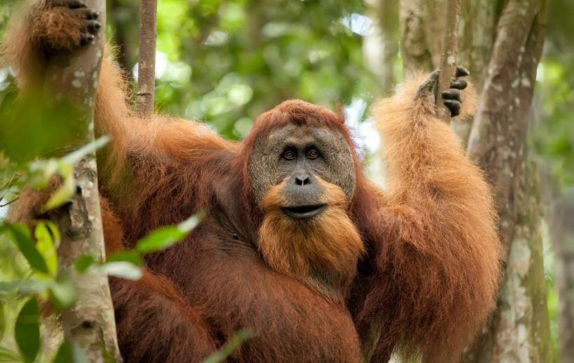 Sumatran orangutan in the tropical rainforest