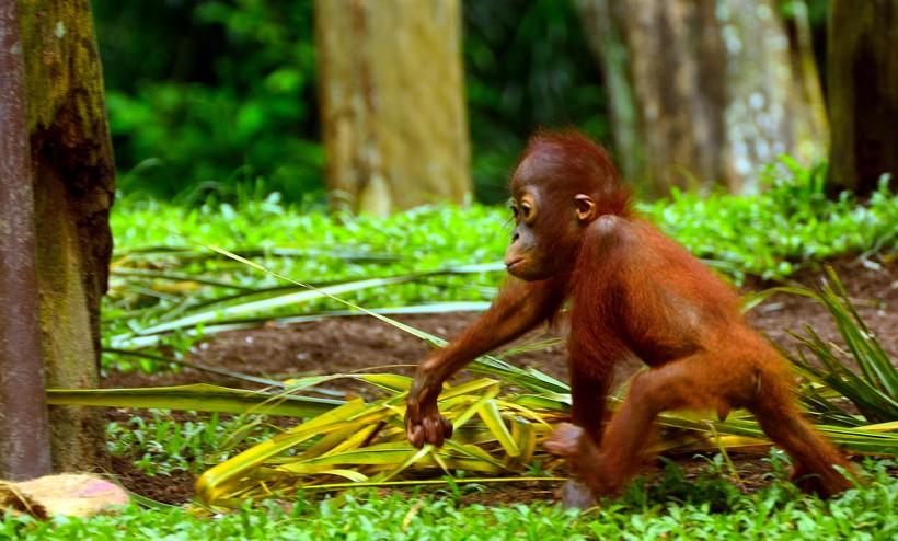 Sumatran orangutan infant walking