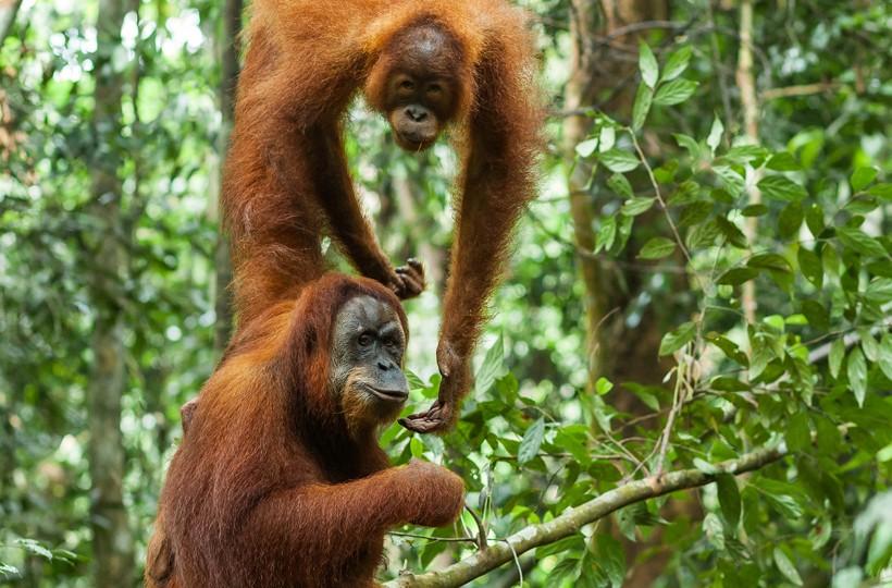 Sumatran orangutans in the tropical rainforest