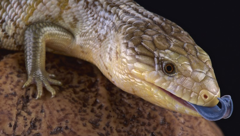 Tanimbar blue-tongued skink