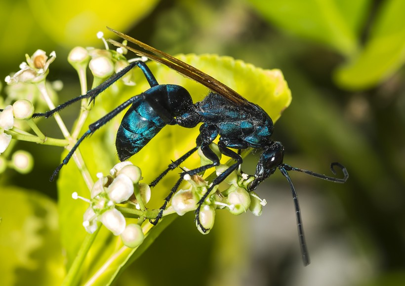 The tarantula hawk is a diurnal creature that spends the day in search of nectar and fermented fruits.
