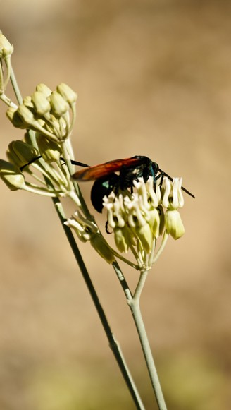 The 250-300 tarantula hawk species are divided in genera Pepsis and Hemipepsis.