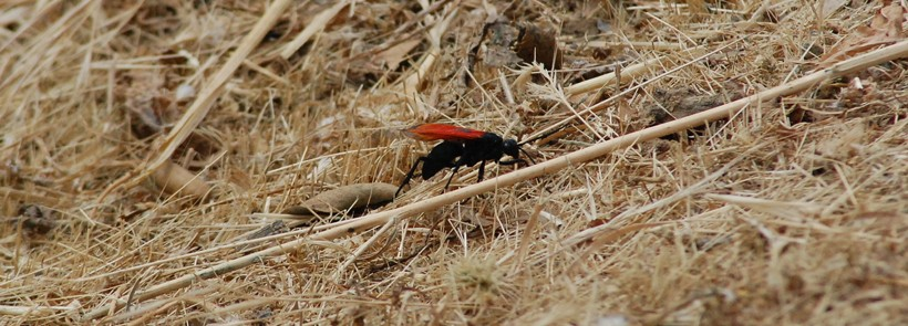 The female tarantula hawk is the one that goes for the tarantula hunt.