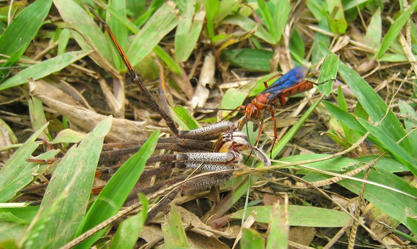 Tarantula hawk dragging the living, paralyzed spider to the burrow, Costa Rica