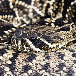 Eastern Diamondback Rattlesnake resting with its head on its body