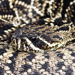 Eastern Diamondback Rattlesnake resting with its head on its body