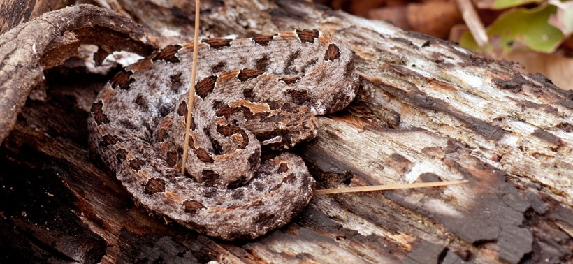 Timber rattlesnake basks in the sun on a log in Ouchita National Forest of Oklahoma