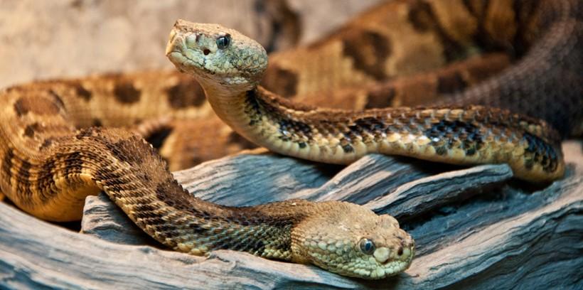 Timber rattlesnake couple