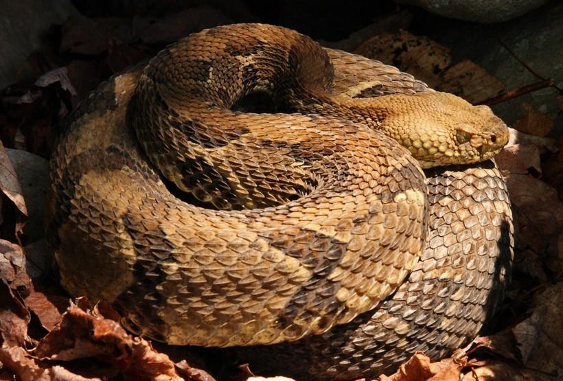 Timber rattlesnake hibernate in a den